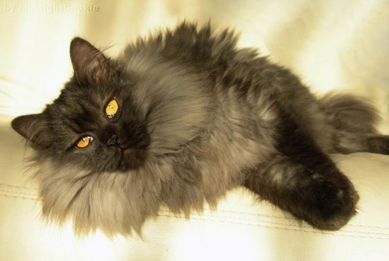 дымчатый кот 6 месяцев на диване