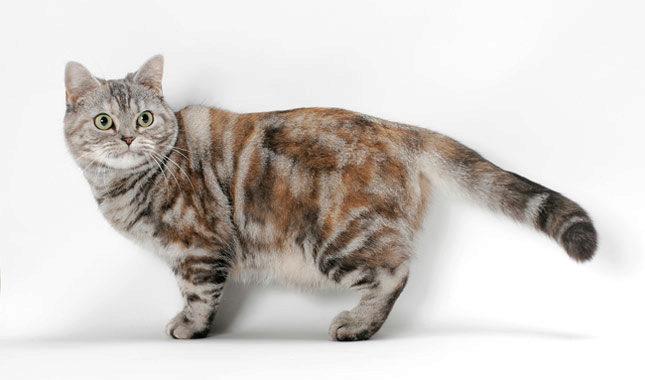пятнистый американец кот фото