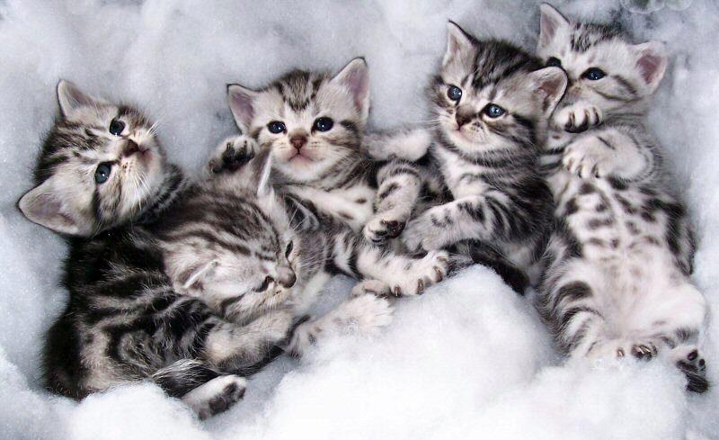 американский короткошерстные котята
