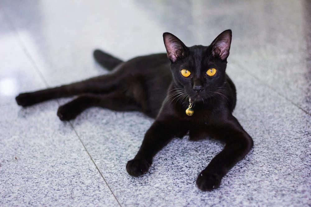 О породе бомбейская кошка