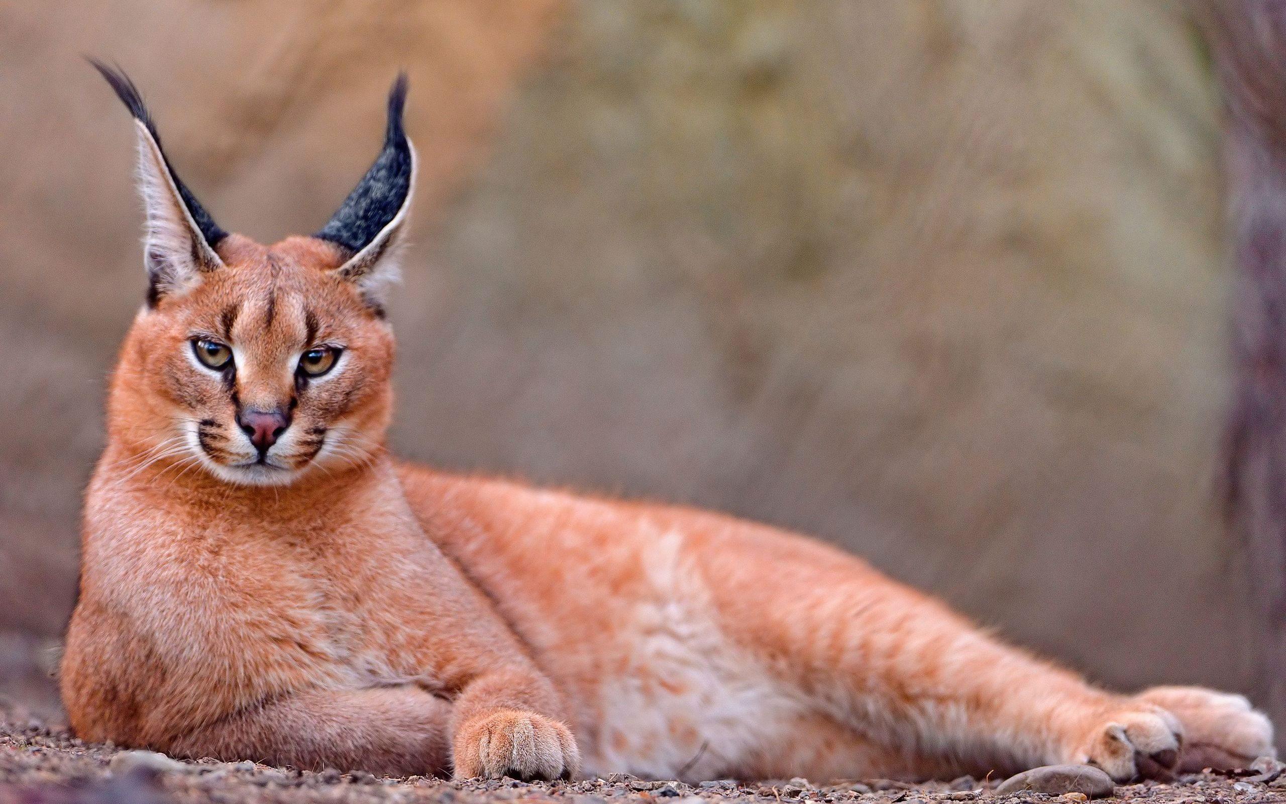 каракал кошки