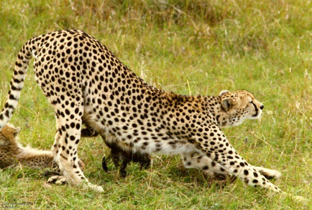 дикая кошка гепард