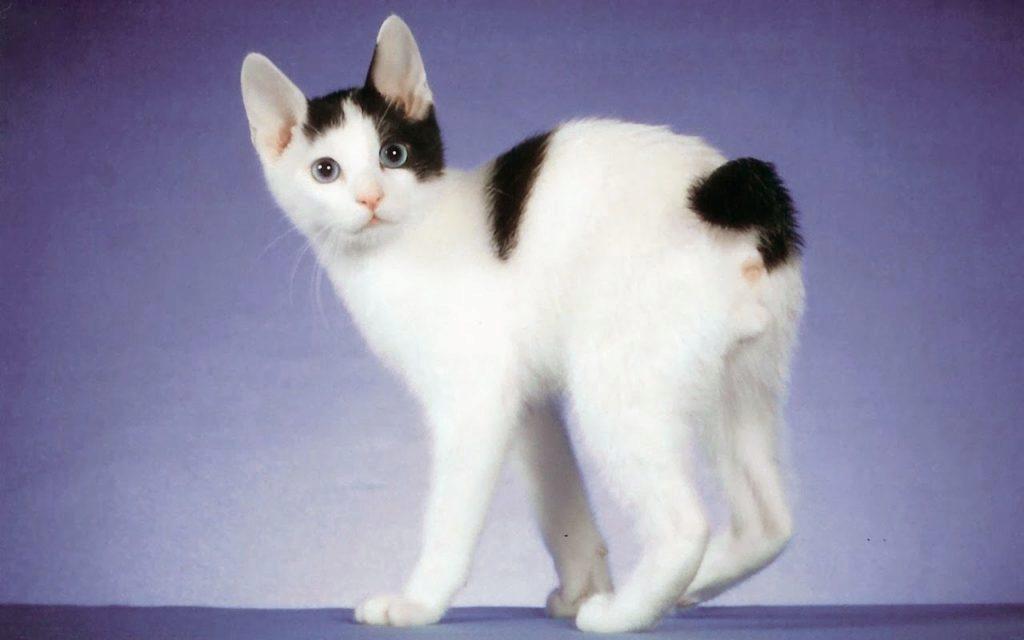 японский бобтейл кот фото
