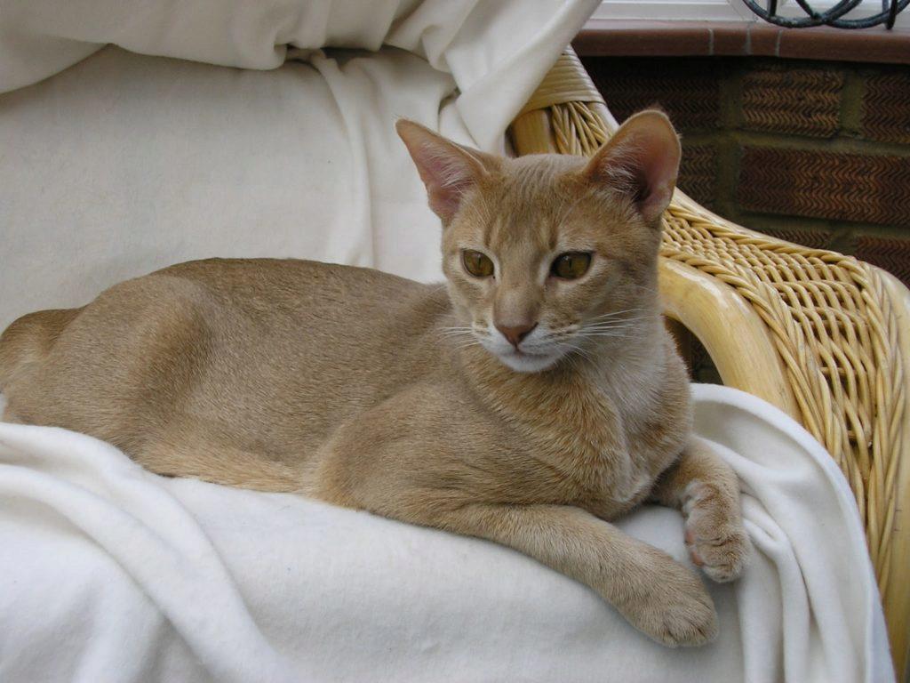 абиссинец кот