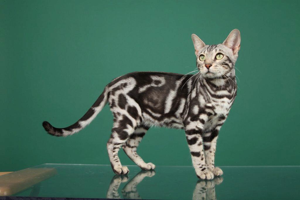 серебрянный бенгальский котёнок