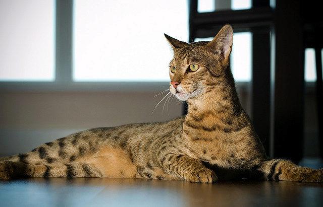 О породе кошка ашера