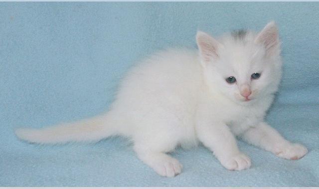 ангорский котёнок с пятном на голове