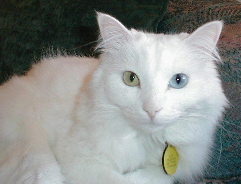 кошка с разными глазами ангорская