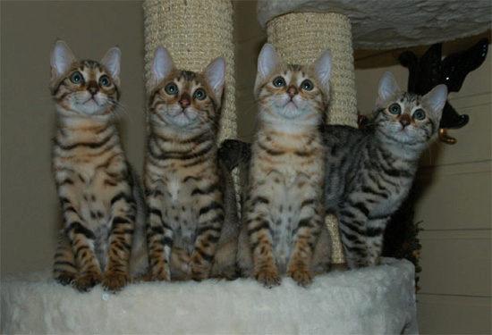маленькие бенгальские котята