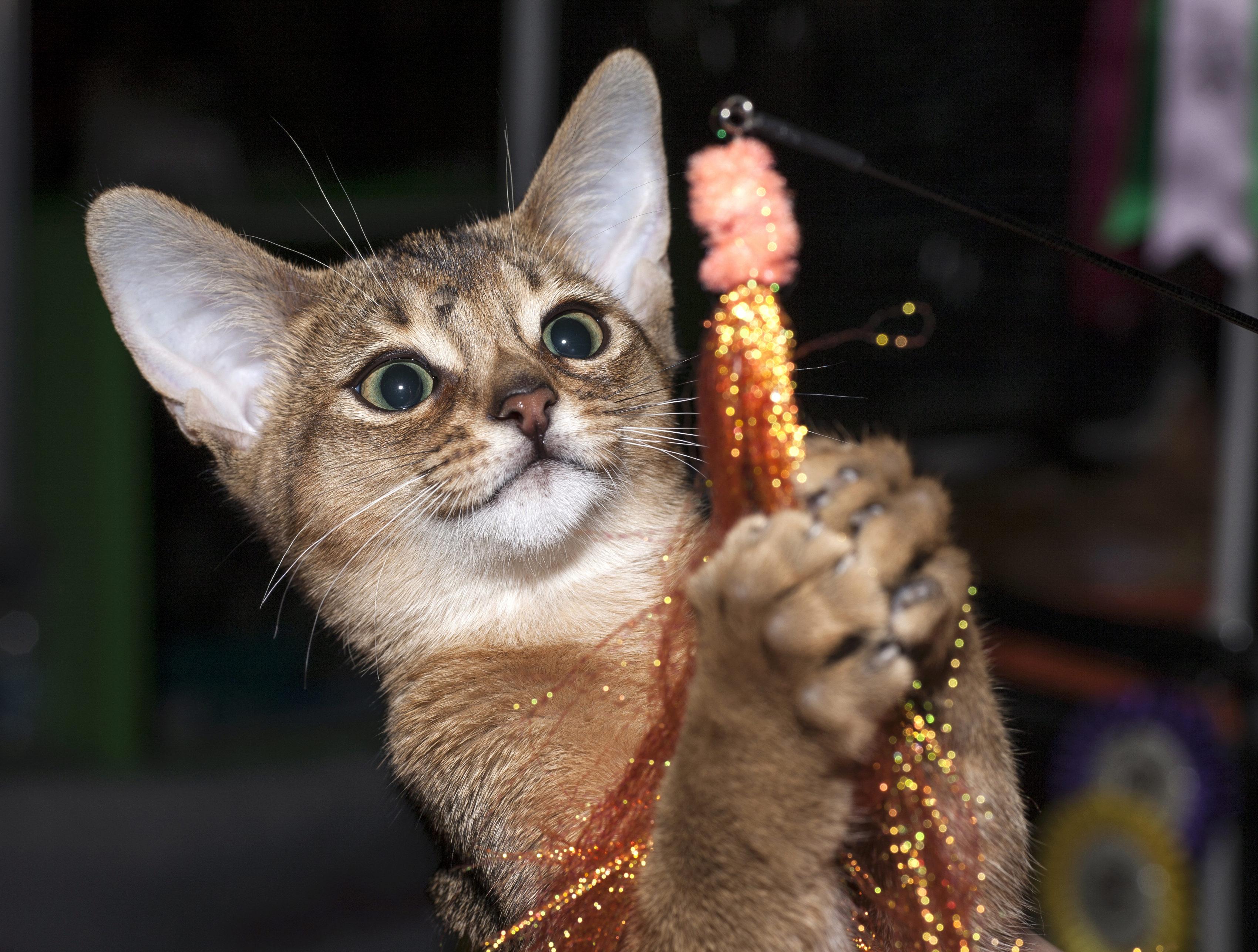 Об абиссинской породе кошек