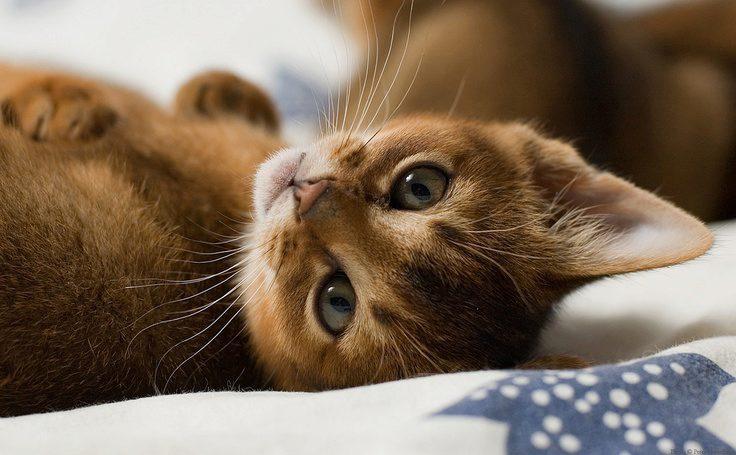 абиссинский котёнок фото