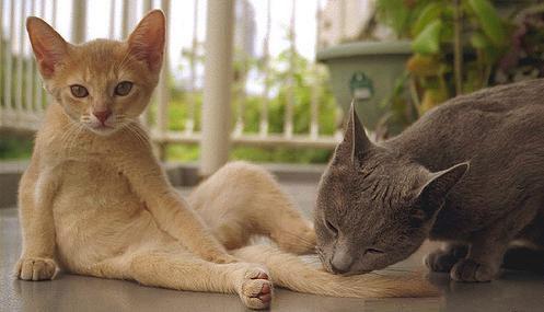 милый абиссинский котёнок