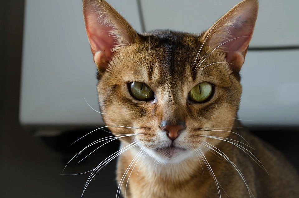 Загадочная абиссинская кошка