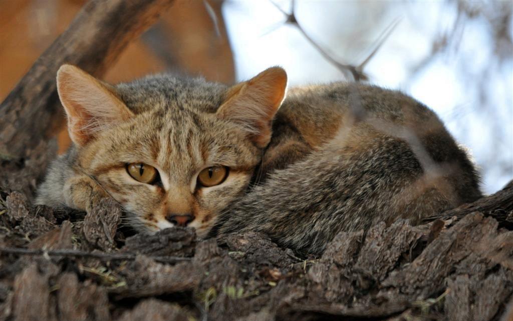 африканский дикий кот