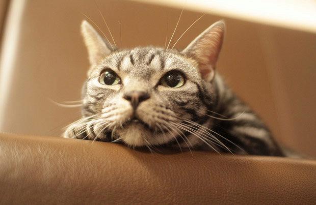 американский короткошёрстный кот