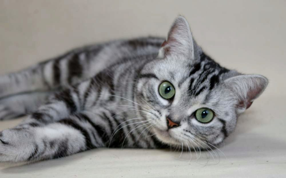 О американской короткошерстной породе кошек