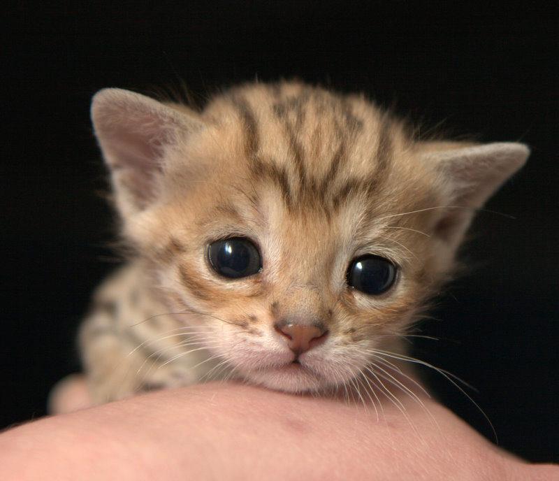 котёнок ашера
