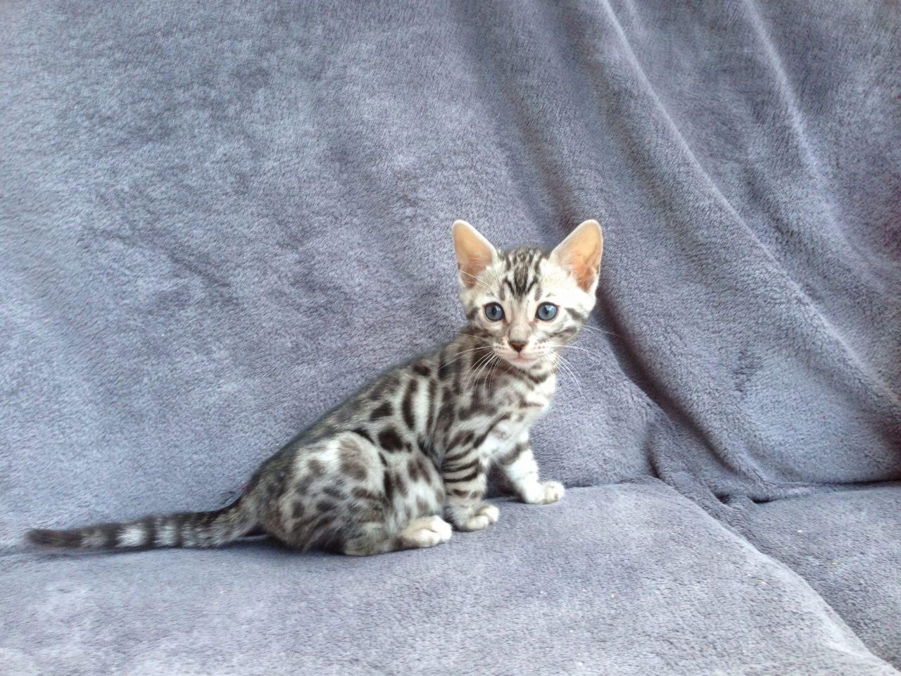 О Бенгальской породе кошке