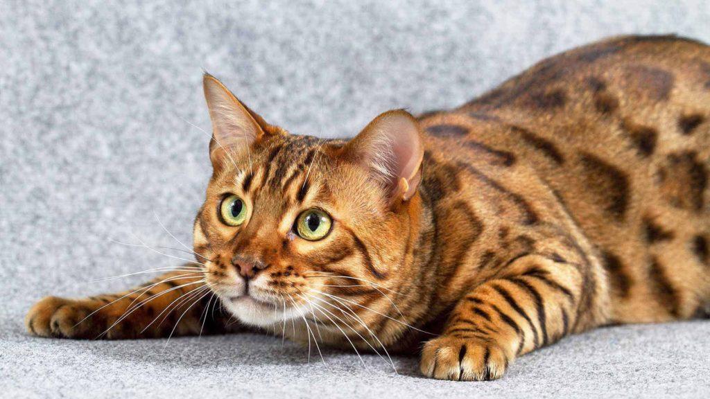 бенгальский кот охотится