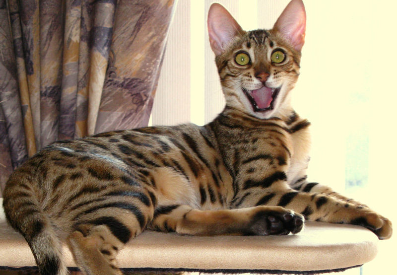 Бенгальская кошка улыбается