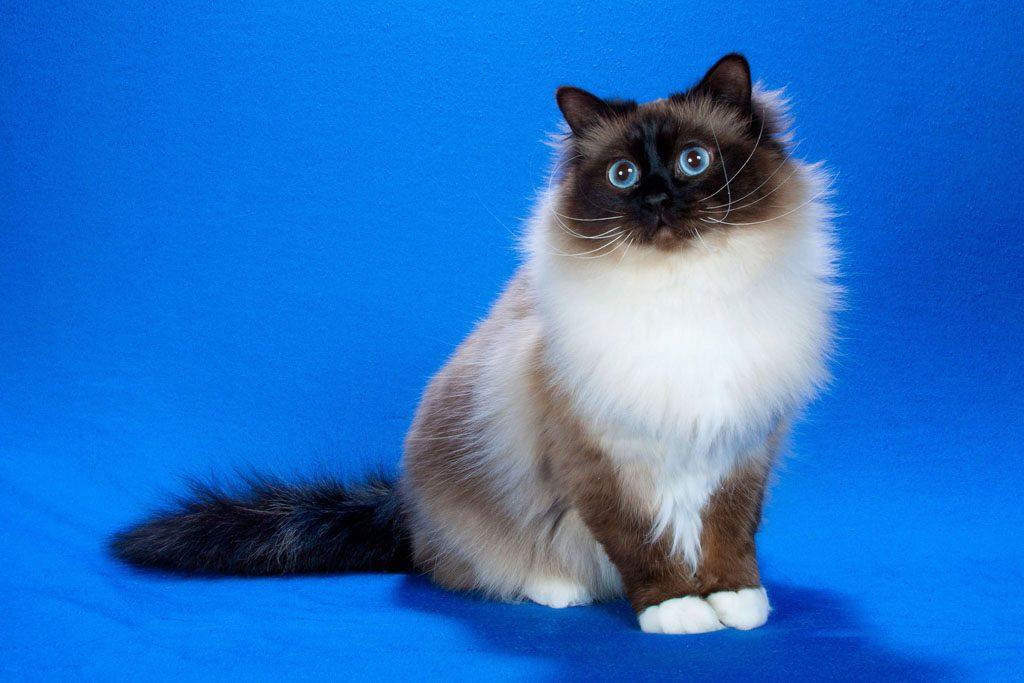 """О Бирманской """"священной"""" породе кошке"""
