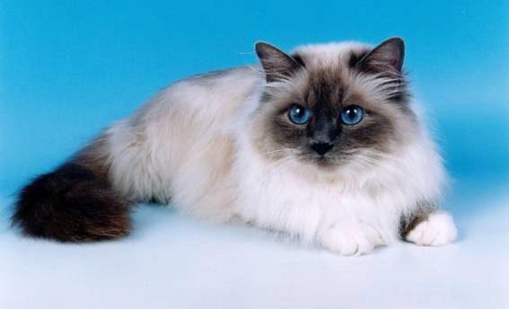 бирманская кошка фото