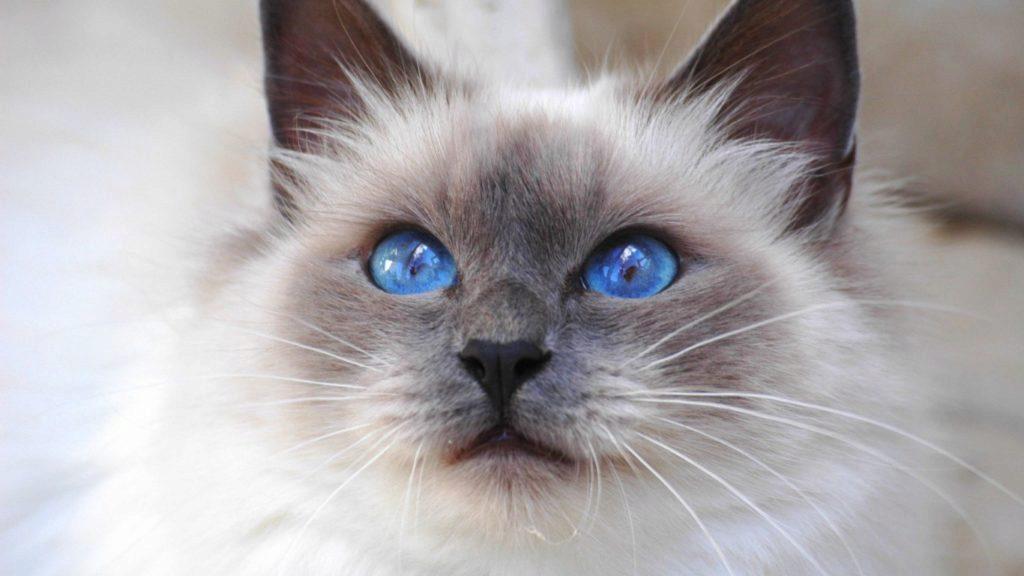 голубоглазая бирманская кошка