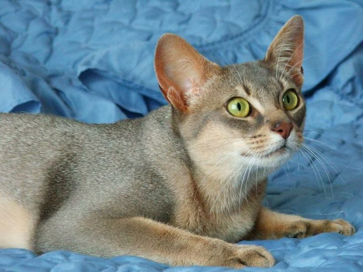 голубой абиссинский кот