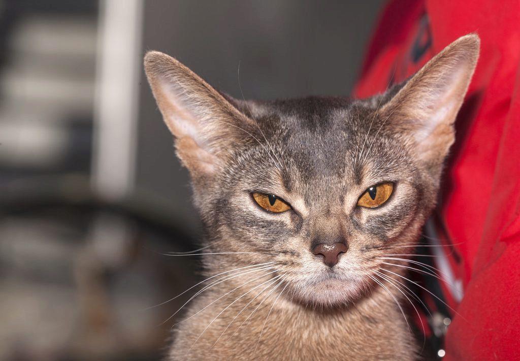 Морда кошки серого окраса