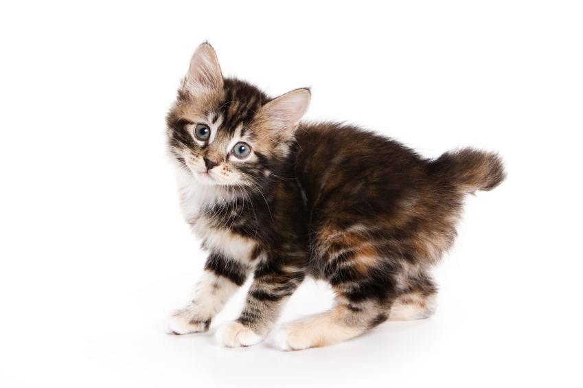 курильский бобтейл котёнок