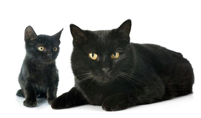бомбейская кошка и котёнок
