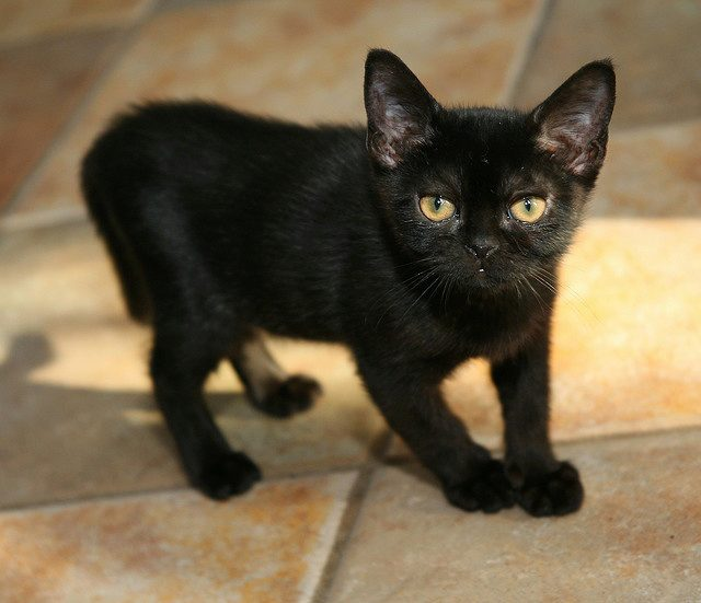 бомбейский котёнок