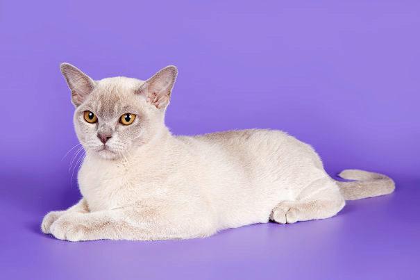 О породе кошек Бурма