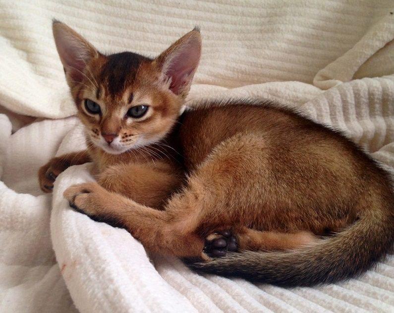 аббисинский котёнок дикий окрас