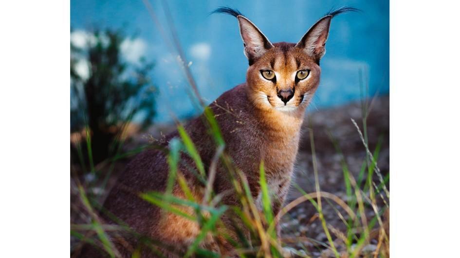 О породе кошек Каракал