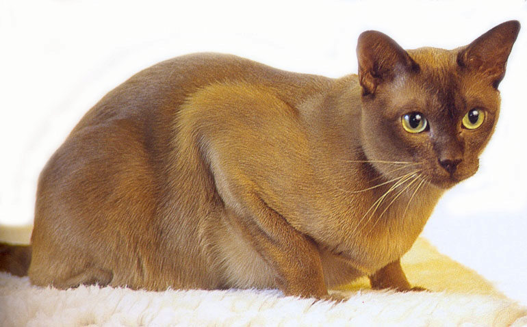 кошка бурма шоколадный окрас