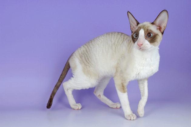 О породе кошек корниш рекс