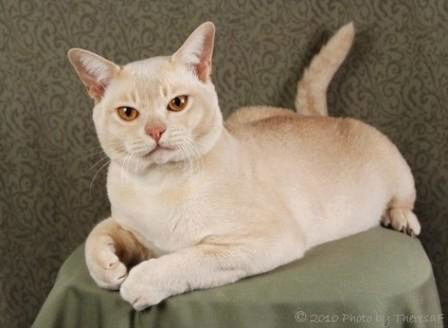 Кремовая кошка бурка