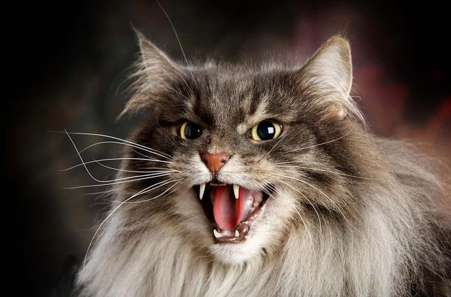 разозленная кошачья морда