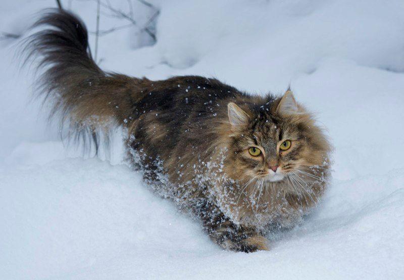 О норвежской лесной породе кошке