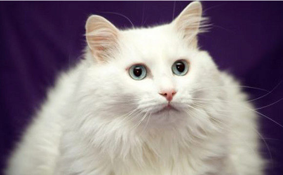 турецкая ангора кошка