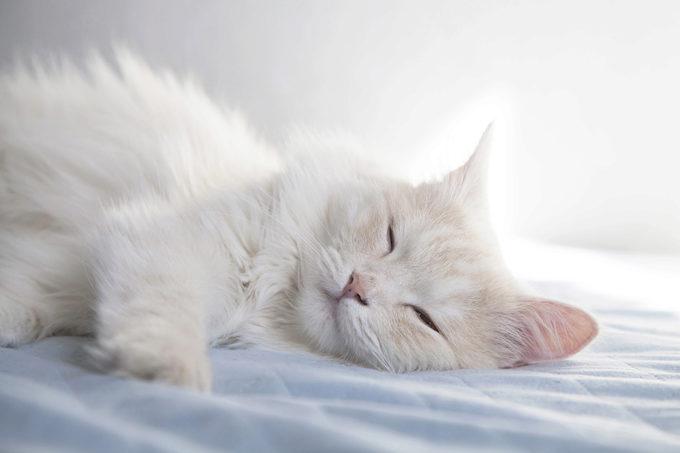 турецкая ангора спит