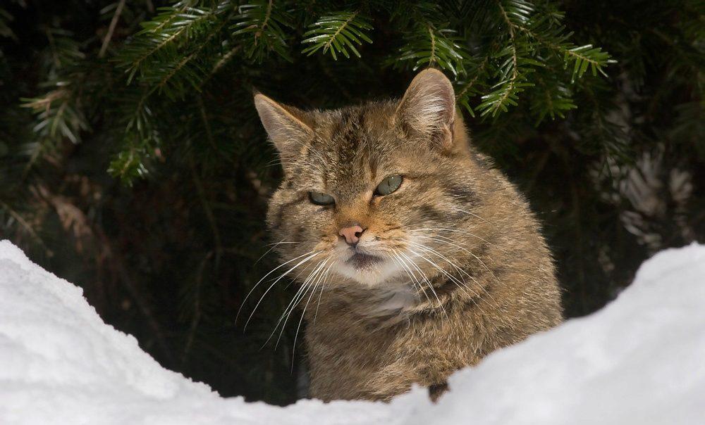 О диких породах кошек