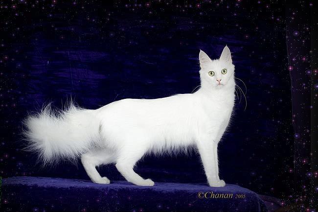О породе кошек турецкая ангора