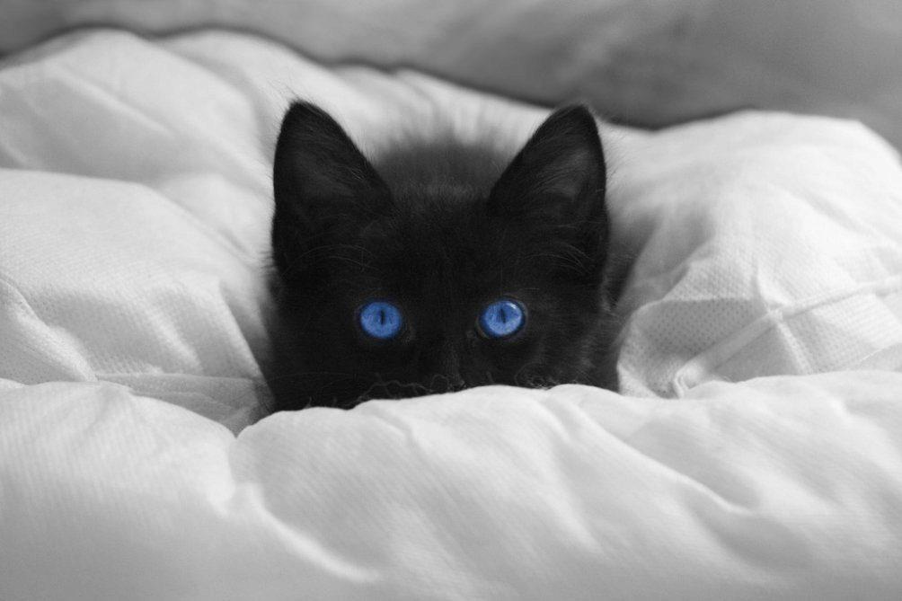 охос азулес котёнок
