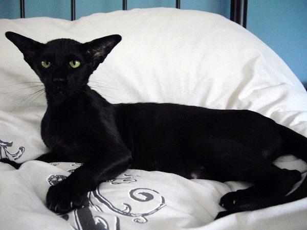 черный ориентальный кот