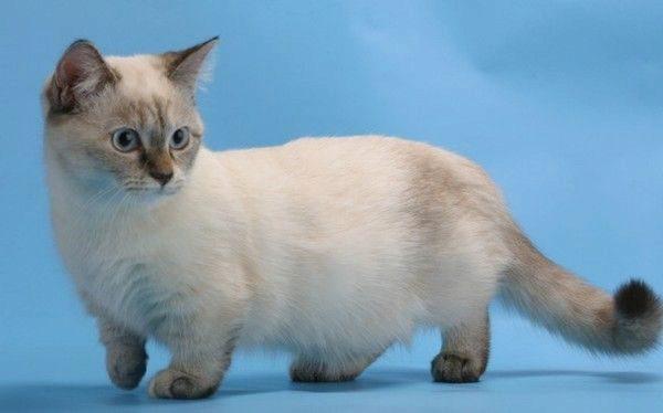 О породе кошек манчкин