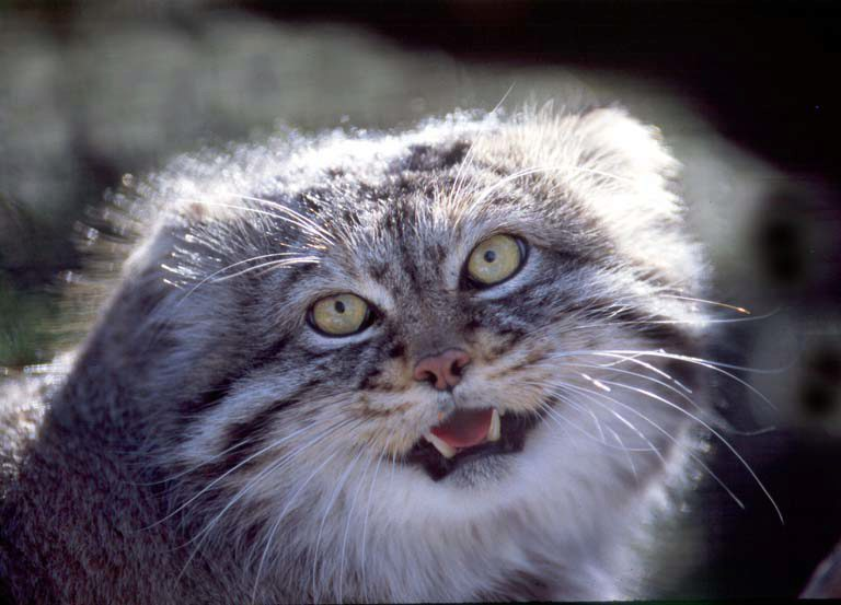 Кошки породы манул