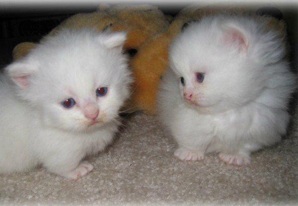 манчкин котята