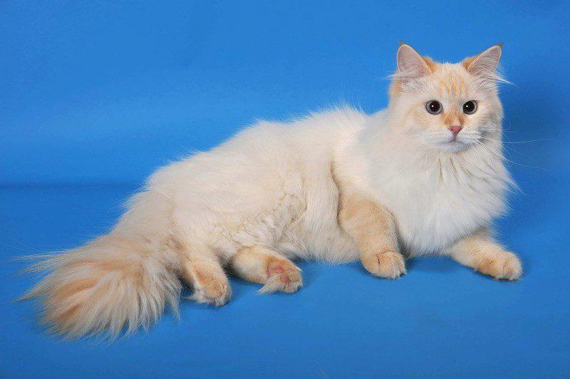 О породе кошек невская маскарадная